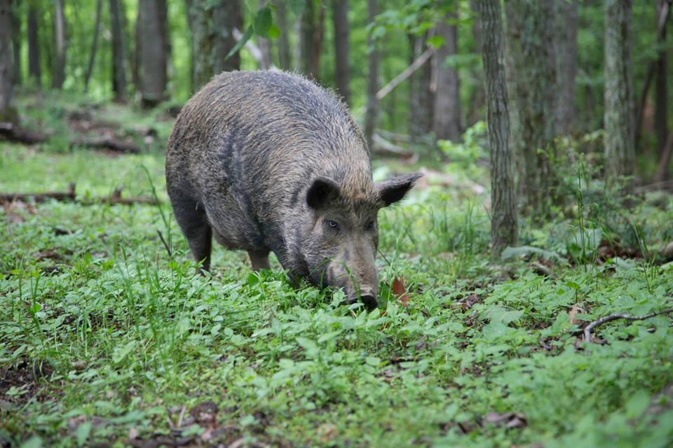 pig13