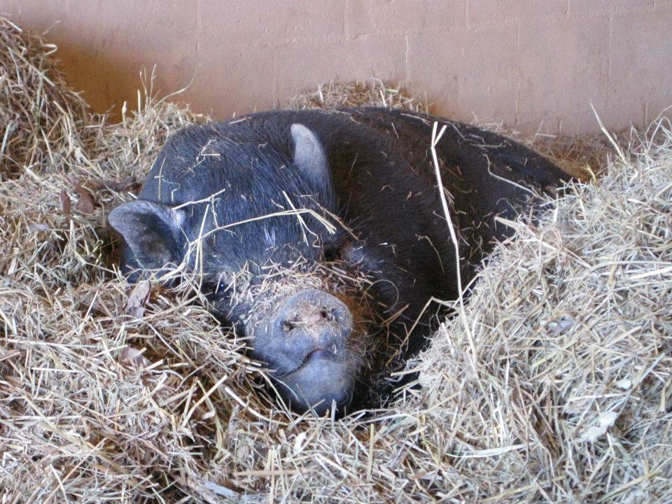 pig24